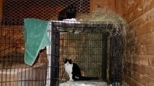 These feral cats once roamed a remote N.L. island. Now they live in Maritime barns