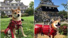 日本柴仔著「犬用甲冑」 巡遊日本各大城