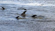 Dramatic dolphin rescue ends after several days' effort