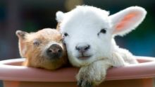 Flocking to ewe tube: farm webcams live stream animals in action