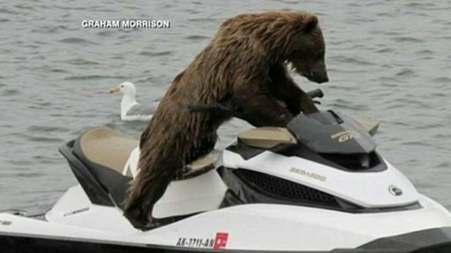 Bear Jumps On a Jet Ski