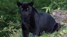 Black panther in UK: Animal 'on the loose' in Scotland as residents warned to be vigilant