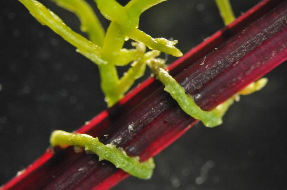 Vampire Plant Sucks Victim's Genes While Feeding