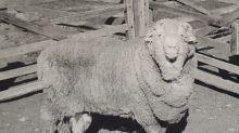 Wohl weltälteste Spermien schwängern Schafe nach 50 Jahren