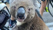 Thousands of koalas feared dead as massive Australian wildfires destroy habitat