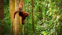Secrets of orangutan 'language' are unlocked by scientists