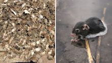 Horror mouse plague expected to hit Sydney in just weeks