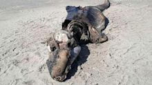 Unidentified mystery creature washes up on beach