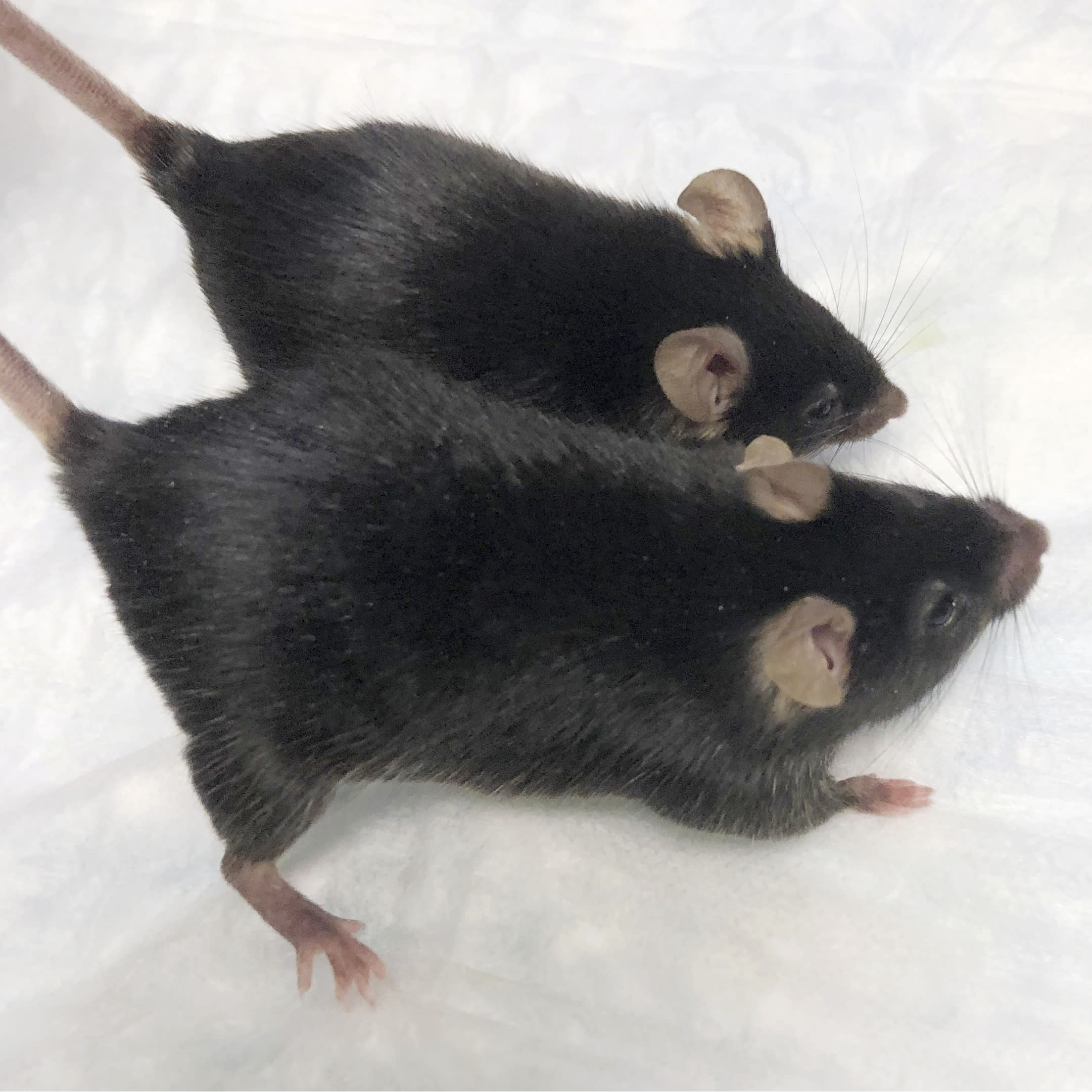 Supermice Shot Into Space Could Lead To Muscle And Bone Loss Therapies