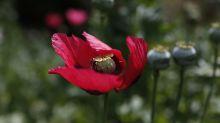 Legisladores mexicanos plantean legalizar producción de opio