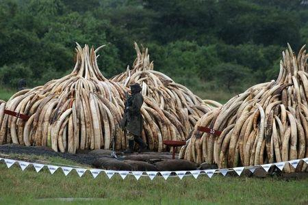 KWS ranger stands guard in the rain near stacks of elephant tusks, part of an estimated 105 tonnes of ivory and a tonne of rhino horn confiscated from smugglers and poachers to be burnt at the Nairobi National Park near Nairobi