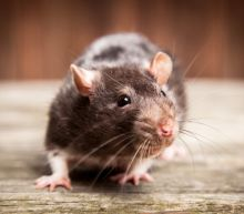 Unusual Rat Virus Strikes 8 People in Illinois and Wisconsin
