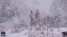 Toe-to-Toe in the Snow: Roos Rumble as Snow Tumbles in New South Wales
