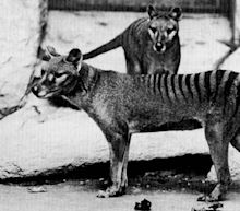 Demise of Tasmanian Tiger may be greatly exaggerated after reported sightings of extinct marsupial