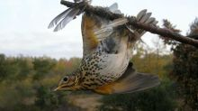 Is the contested French tradition of glue-hunting songbirds coming to an end?