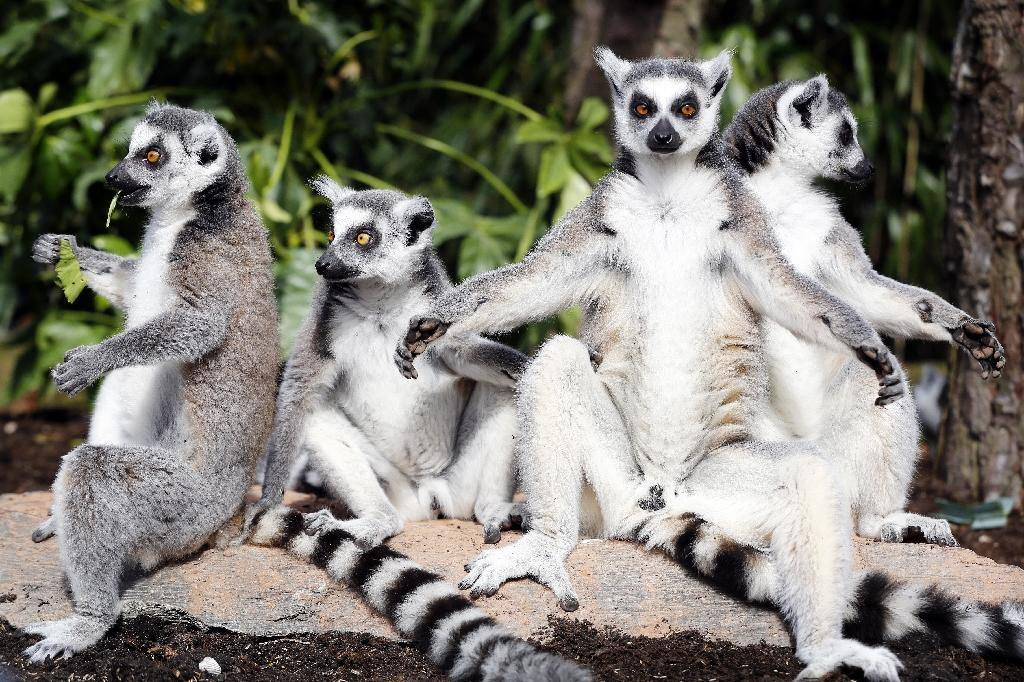Out of a total of 111 lemur species and subspecies, 105 are under threat, IUCN said