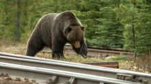 Female grizzly struck and killed by train in Banff National Park