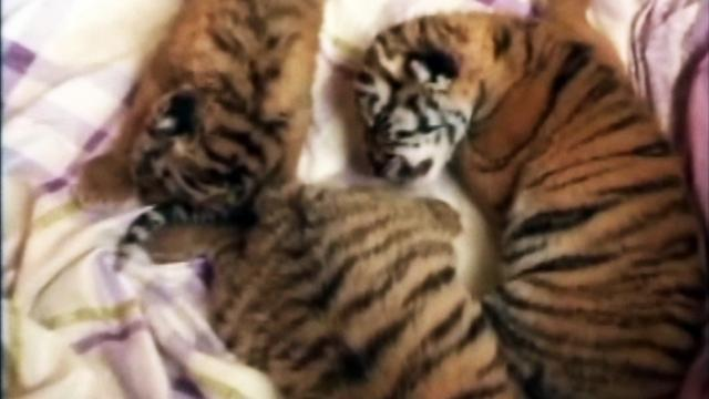 Chinese tigress gives birth to triplets