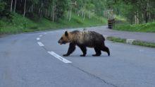 熊出沒北海道島牧村,議會卻不願付獵熊費