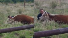 Man Photographed Comforting Mother Cow After She Lost Her Calf During Labor