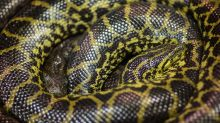 Landmark Case Paves Way for Animals Like Pythons to Be Traded in U.S.