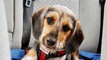 """Cachorros estão sendo abandonados em abrigos por serem """"feios para o Instagram"""""""