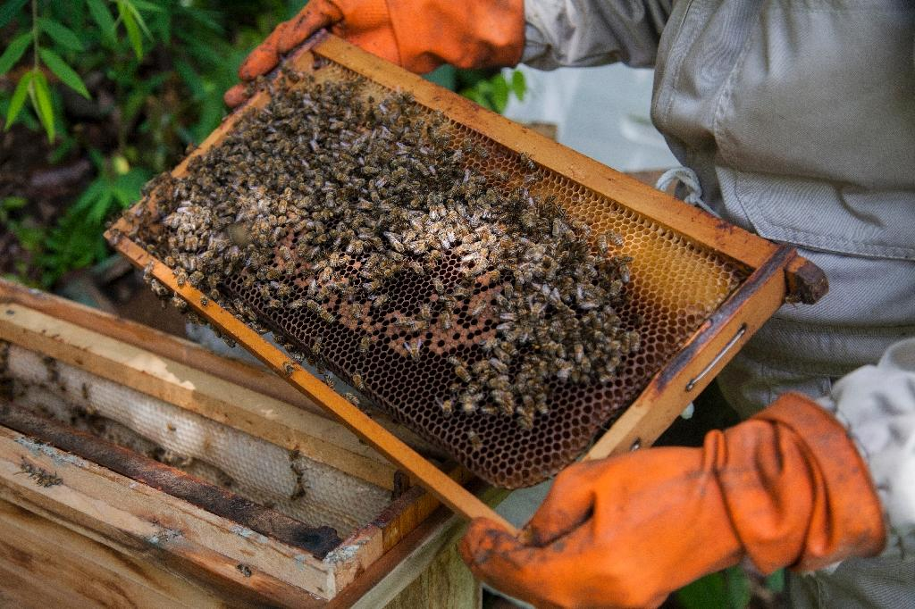 """Globally, bees have been mysteriously dying off from """"colony collapse disorder"""" in recent years, blamed party on pesticides, but also on mites, viruses and fungi (AFP Photo/William Wroblewski)"""