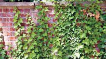 Ivy gets a bad rap, but it has more benefits for your home and garden than you think