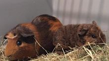 Man accidentally breeds 160 guinea pigs after wrongly thinking he'd bought two females