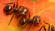 Als die Ameisen begannen, Pflanzen zu lieben