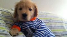 Blind Golden Retriever Puppy Captures Hearts on the Web