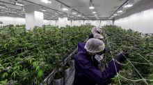 Cannabis stocks rally after Aurora posts first earnings of December quarter