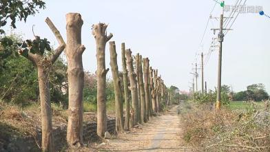 空氣淨化區?樹木修剪後變「全禿」