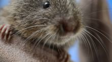 Like Humans, Voles Become Bad at Relationships When They're Drunk