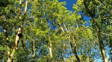 New research provides hope for British trees affected by ash dieback