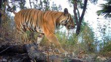 En Thaïlande, le nombre de tigres remonte, mais le félin reste menacé