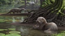 Ancient Otter Species Discovered In China