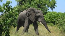 Elephant All-Nighters? Giant Beasts Sleep Only 2 Hours