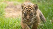 Sumatran tiger cub born in Polish zoo