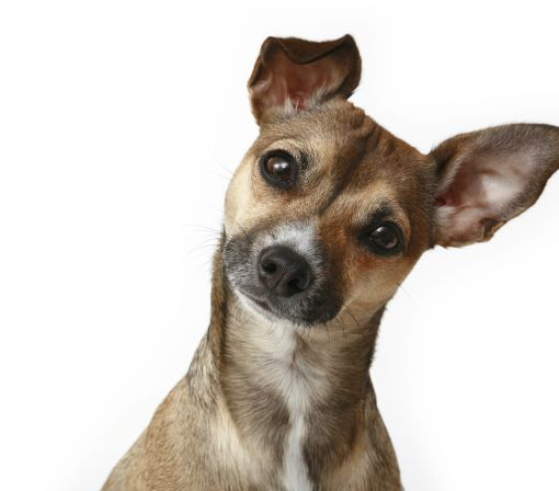Dogs, like humans, distinguish words and intonation