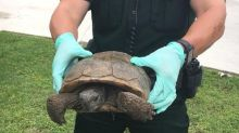 Man Found With Endangered Tortoises Planned to Eat Them, Sheriff's Office Says