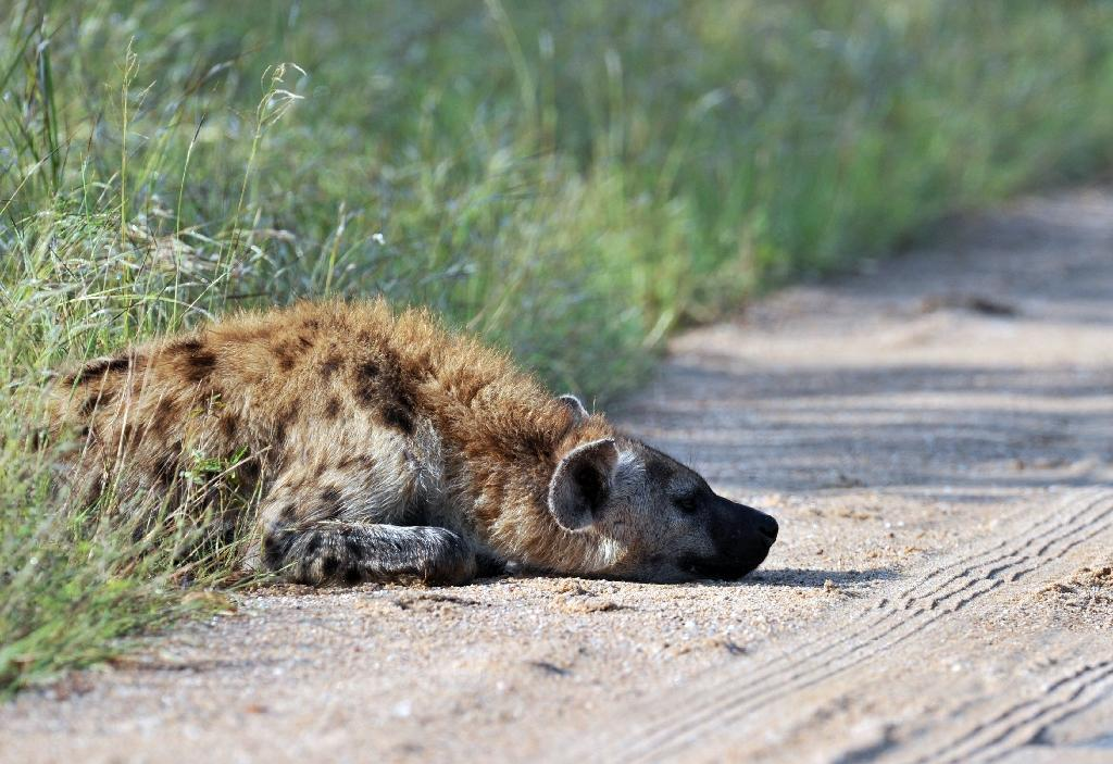 Spotted hyenas have been spotted in Gabon for the first time in 20 years