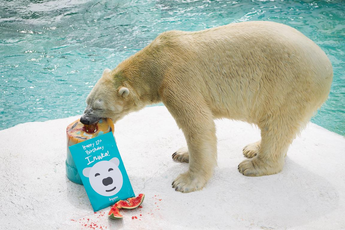 Inuka the polar bear turns 27, treated to 10kg cake at