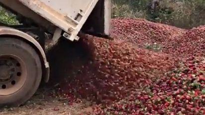 Aghi nelle fragole, il video straziante del produttore