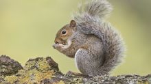 Wildlife hospital says new law means it has no choice but to destroy injured grey squirrels