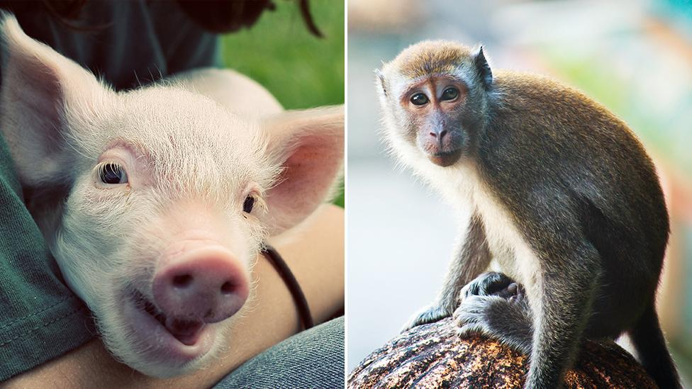 Monkey-pig hybrid could ease shortage of human organ donors