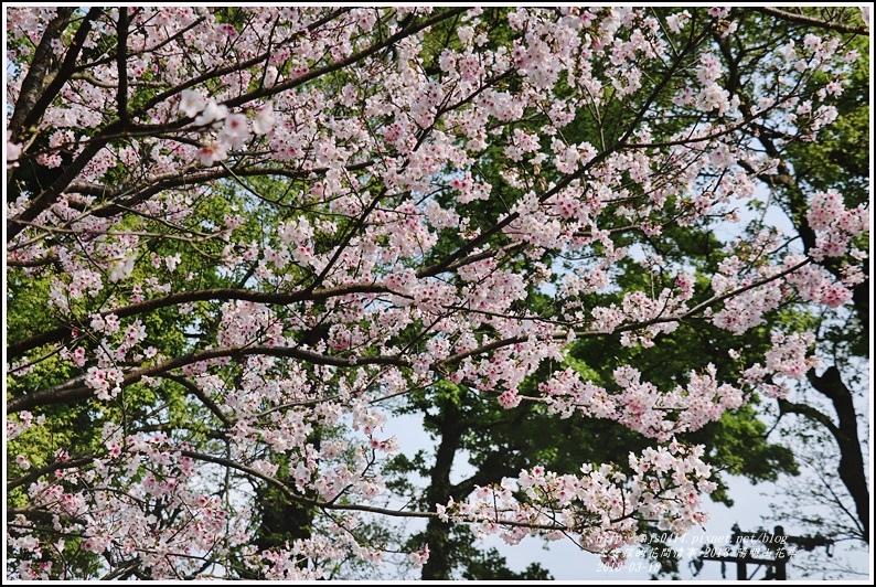 陽明山櫻花季-2018-03-80.jpg