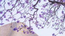 El jardinero japonés que trajo las jacarandas a la Ciudad de México