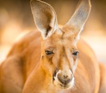 Kangaroo Dies After Visitors At Chinese Zoo Hurl Rocks To Force Her To Jump