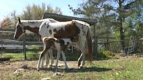 Rare Twin Horses Born on Easter